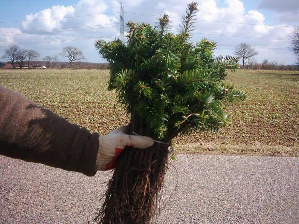 Vánoční stromky Hořice